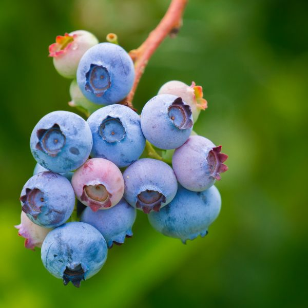 berries-3513547_1920